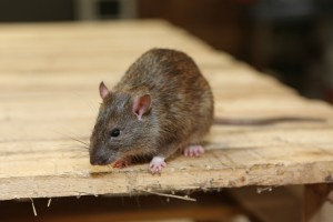 Rodent Control, Pest Control in Bexleyheath, Upton, DA6. Call Now 020 8166 9746